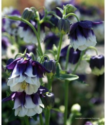 Aquilegia h. Northern Lights