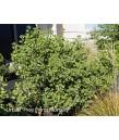 Arctostaphylos densiflora 'Sentinel'
