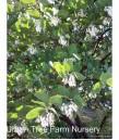 Arctostaphylos manzanita 'Dr Hurd'