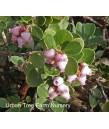 Arctostaphylos uva-ursi 'Point Reyes'