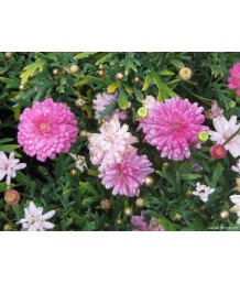 Argyranthemum f. Summersong Rose