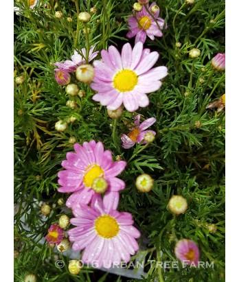 Argyranthemum frutescens 'Comet Pink'