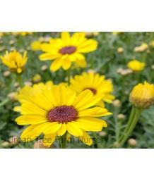 Argyranthemum frutescens grandessa 'Yellow'