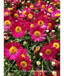 Argyranthemum f. Mad Red