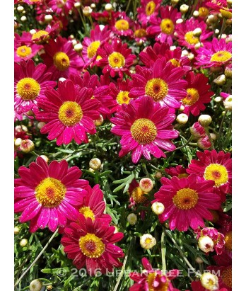 Argyranthemum f. Mad Red