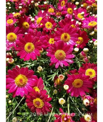 Argyranthemum frutescens 'Madera Red'