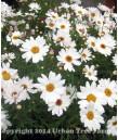 Argyranthemum f. Elsa