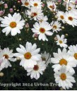 Argyranthemum frutescens 'Elsa'