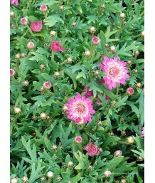Argyranthemum frutescens 'Summer Blush Pink'