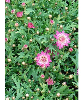 Argyranthemum f. Summer Blush Pink