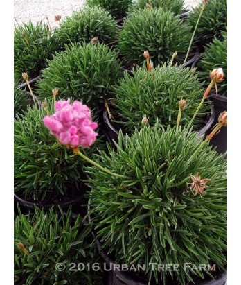 Armeria alliacea