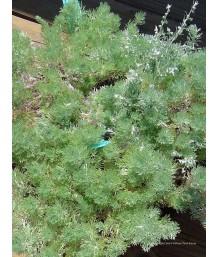 Artemisia sc. Silver Mound