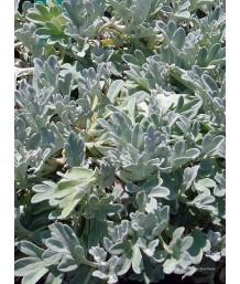 Artemisia stelleriana 'Silver Brocade'