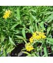 Asclepias cur. Silky Gold