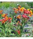 Asclepias curassavica 'Silky Red'