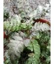 Athyrium nipponicum Pictum