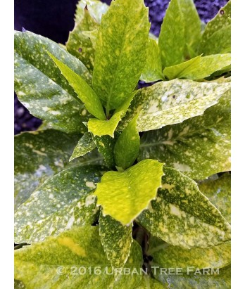 Aucuba japonica 'Varigata/Gold Dust'