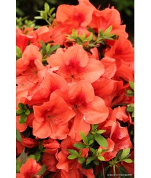 Azalea Orange Delight
