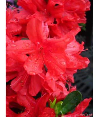Azalea Sherwood Red