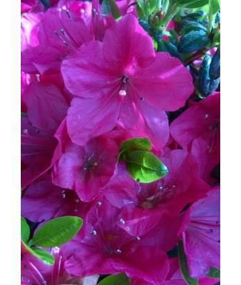 Azalea Cherry Drops
