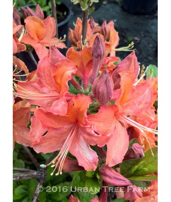 Azalea, Exbury Hybrid 'Mandarin Lights'