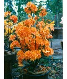 Azalea, E.H. Orange