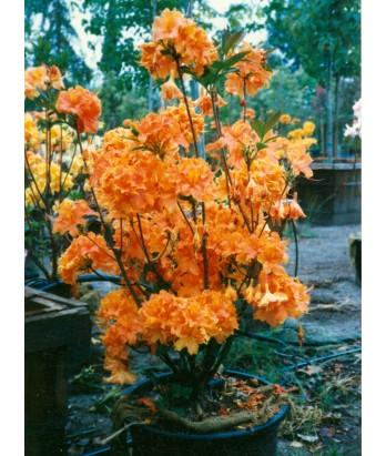Azalea, Exbury Hybrid 'Orange'