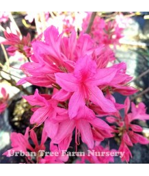 Azalea, Exbury Hybrid 'Rosy Lights'