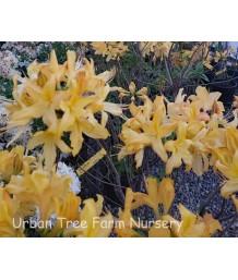 Azalea, Exbury Hybrid 'Golden Lights'