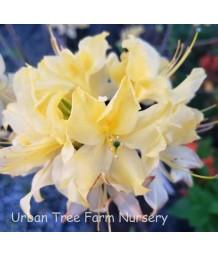 Azalea, Exbury Hybrid 'Lemon Lights'