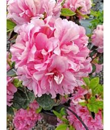 Azalea, Encore 'Autumn Carnation'