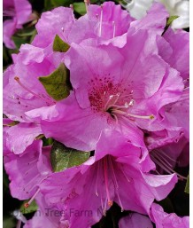 Azalea, Encore 'Autumn Lilac'