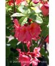 Azalea, Exbury Hybrid 'Pink'