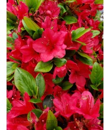 Azalea 'Hino-Crimson'
