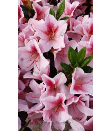 Azalea, Southern Indica 'Pink Lace'