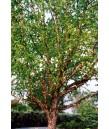 Betula nigra 'Heritage' MULTI