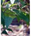 Betula plat. White Spire