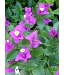 Bouganvillea 'Purple Queen'