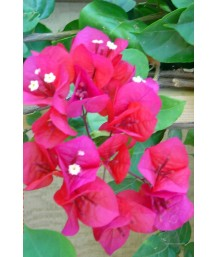 Bouganvillea San Diego Red