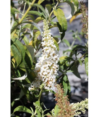 Buddleia d. White Bouquet