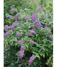 Buddleja davidii 'Lo & Behold Purple Haze'