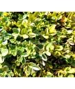 Buxus sempervirens Suffruticosa GLOBE