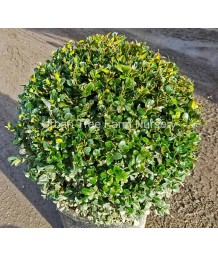 Buxus sempervirens GLOBE