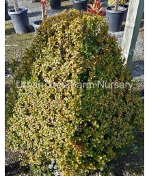 Buxus sempervirens MAYAN