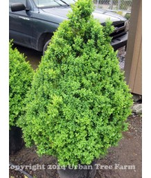 Buxus sempervirens CONE/PYRAMID
