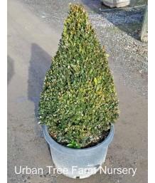Buxus x 'Green Mountain' CONE/PYRAMID