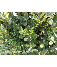 Buxus x 'Green Mountain'