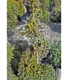 Buxus x 'Green Mountain' SPIRAL