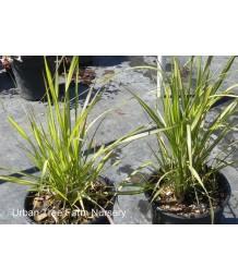 Calamagrostis acutiflora 'El Dorado'