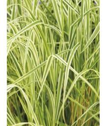Calamagrostis a. Overdam